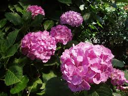 June Flowers - free photo hydrangea june flower free image on pixabay 2181004