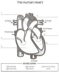 human anatomy labeling worksheets tag heart anatomy labeling