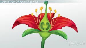 flower sepals function u0026 definition video u0026 lesson transcript