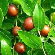 buy lang jujube trees at best price plants
