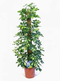 Plants For Office Indoor House U0026 Office Plants For Sale Online Uk Wide Delivery