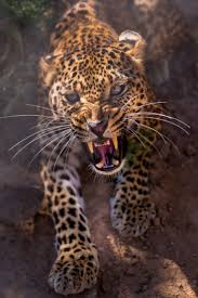 best 25 angry animals ideas on pinterest leopards big cats and