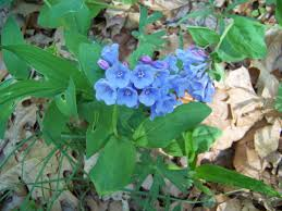 native virginia plants midwest native plants gardens and wildlife coming soon to a