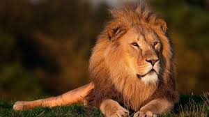 free photo lion lion king forest king lion free image