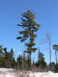 white pine trees p1190521 jpg