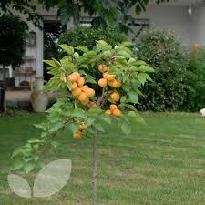 apricot apricompakt compact apricot trees