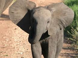 p baby elephant a tanzanian travelogue