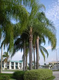 Modern Front Yard Desert Landscaping With Palm Tree And 15 Best Palm Queen Palm Tree Images On Pinterest Landscaping