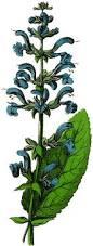 Salvia Flower Vintage Blue Salvia Flower Image The Graphics Fairy