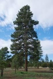 montana state tree ponderosa pine state trees