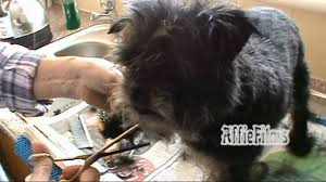affenpinscher monkey dog big hair long hair snip snip gone affenpinscher grooming