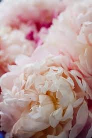 nature photography fragrant peony in paris paris baby pink peony