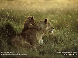 national geographic magazine 100 best wildlife pictures lioness