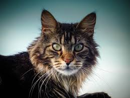 mainecoon org all about maine coon cats and kittens