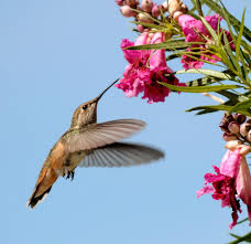 which plants attract hummingbirds albuquerque journal