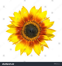 fresh petals beautiful yellow sunflower fresh petals closeup stock photo