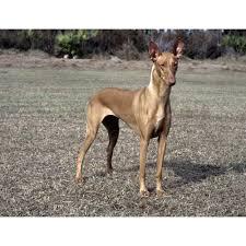 belgian sheepdog hound pharaoh hound dog breeds dog com