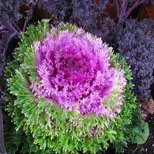 ornamental cabbage seeds brassica oleracea 100seeds