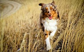 1 australian shepherd australian shepherd dog photo 1 75 dog breed atlas