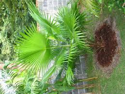 Zone Gardening - tropical zone gardening livingstonia rotundifolia 1 by podge1980