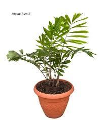 sugar palm arenga engleri small palm tree