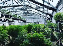 marijuana greenhouse u0026 indoor cannabis grow facility design build