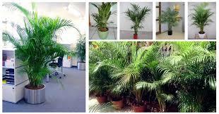ever tried to grow palms indoor blog nurserylive com