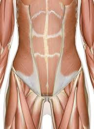 Interactive Muscle Anatomy Of The Abdomen Lower Back And Pelvis