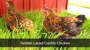 Backyard Chickens Magazine by Golden Laced Cochin Chicken By Chickens For Backyards Youtube