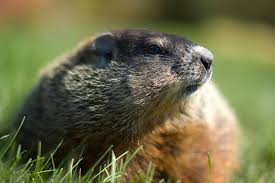 canadian groundhog dies groundhog