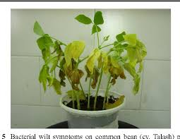 Australasian Plant Disease Notes - bacterial wilt of common bean phaseolus vulgaris caused by