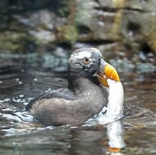 pictures and information on tufted puffin