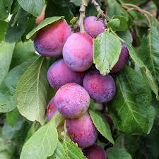 plum trees mail order trees