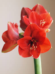 amaryllis flowers hippeastrum amaryllis bulbs how to amaryllis bulbs for