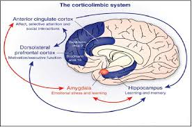 Anterior Association Area The Corticolimbic System Consists Of Several Brain Regions That
