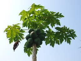 file organic papaya tree jpg wikimedia commons