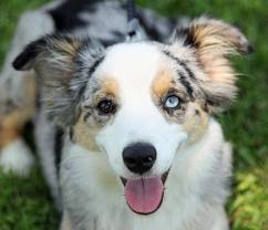 australian shepherd eye color genetics my mother the human chimera by deeann visk