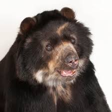 spectacled bear national geographic
