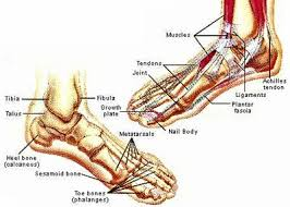 Foot Ligament Anatomy Human Anatomy Feet Healthy Lifestyle