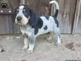 bluetick coonhound name origin bluetick coonhound puppies for sale greenfield puppies