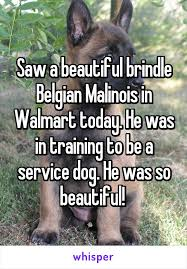 belgian malinois brindle a beautiful brindle belgian malinois in walmart today he was in