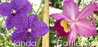 cattleya orchids vanda and cattleya orchids heathcote botanical gardens