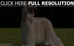 afghan hound in apartment 5 best medium size dogs for apartments dog vills medium size
