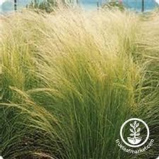 stipa pony tails ornamental grass seeds