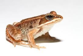 wood frog wikipedia