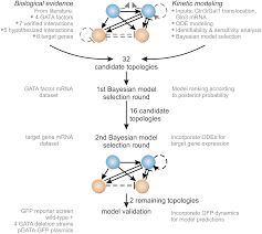 elucidation of genetic interactions in the yeast gata factor