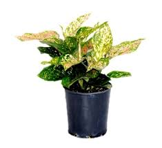 Best Plant For Office Desk Plants For Office Desk Buy Plants For Office Desk At Best