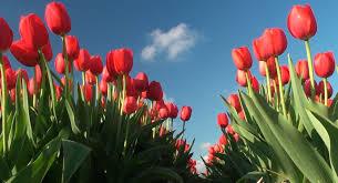 Tulip Field Tulips Fields Keukenhof The Netherlands Hd 1080p Youtube