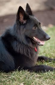 belgian sheepdog dogtime 1000 images about belgian sheepdog pics on pinterest coats