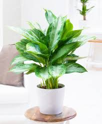 100pcs rare aglaonema spp seeds high humidity easy grow office